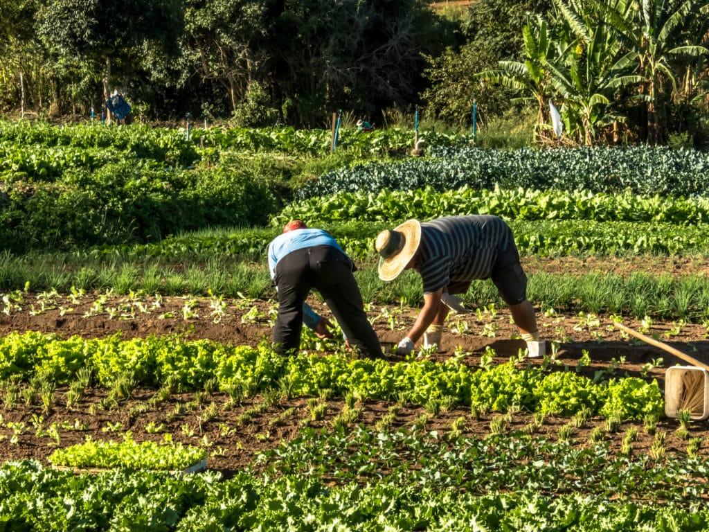 Smallholder farmers in the field